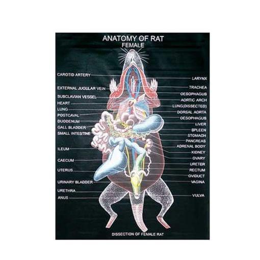 Rat Anatomy Chart