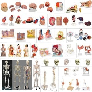 large variety of human anatomy models